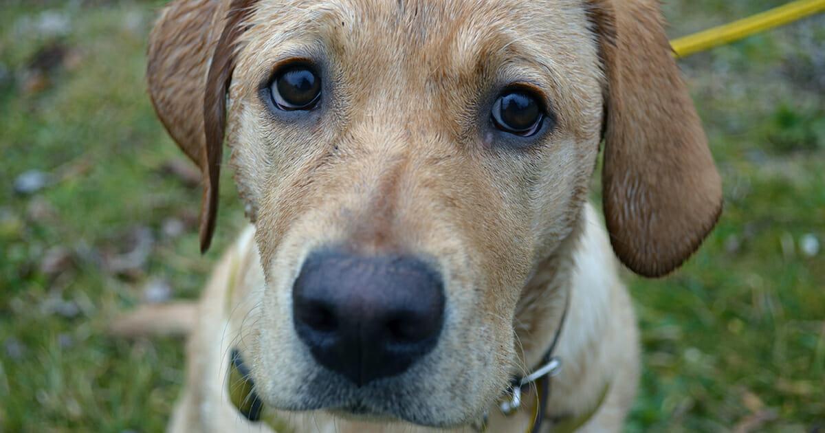 Efterstræbte Stødhalsbånd til hunde sælges i Danmark – nu sender dyrlæge klar MK-08