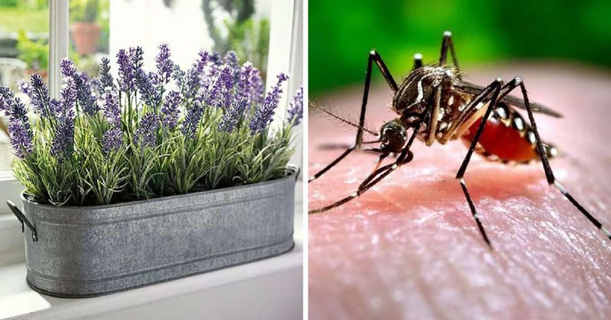 Vermeidet Mückenstiche 9 Häufige Pflanzen Um Mücken In Diesem
