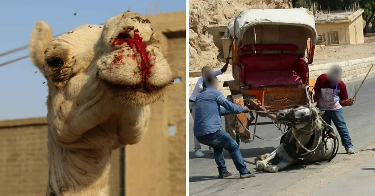 Tierquälerei, Ägypten, Kamel