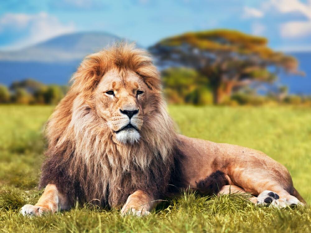 Löwe, Wilderer