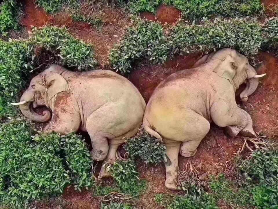 Elefanten betrunken