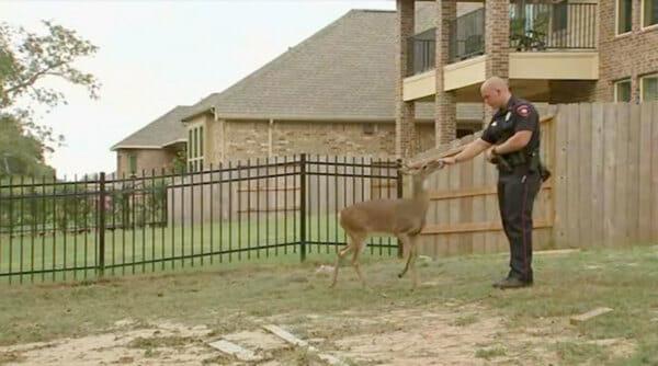 Cervo vai até uma família para pedir ajuda – quando eles