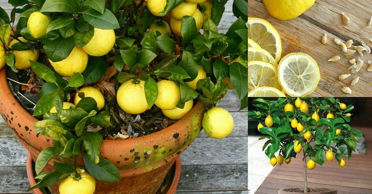 Comment Cultiver Un Citronnier En Pot citrons : voici comment il est facile d'en cultiver un